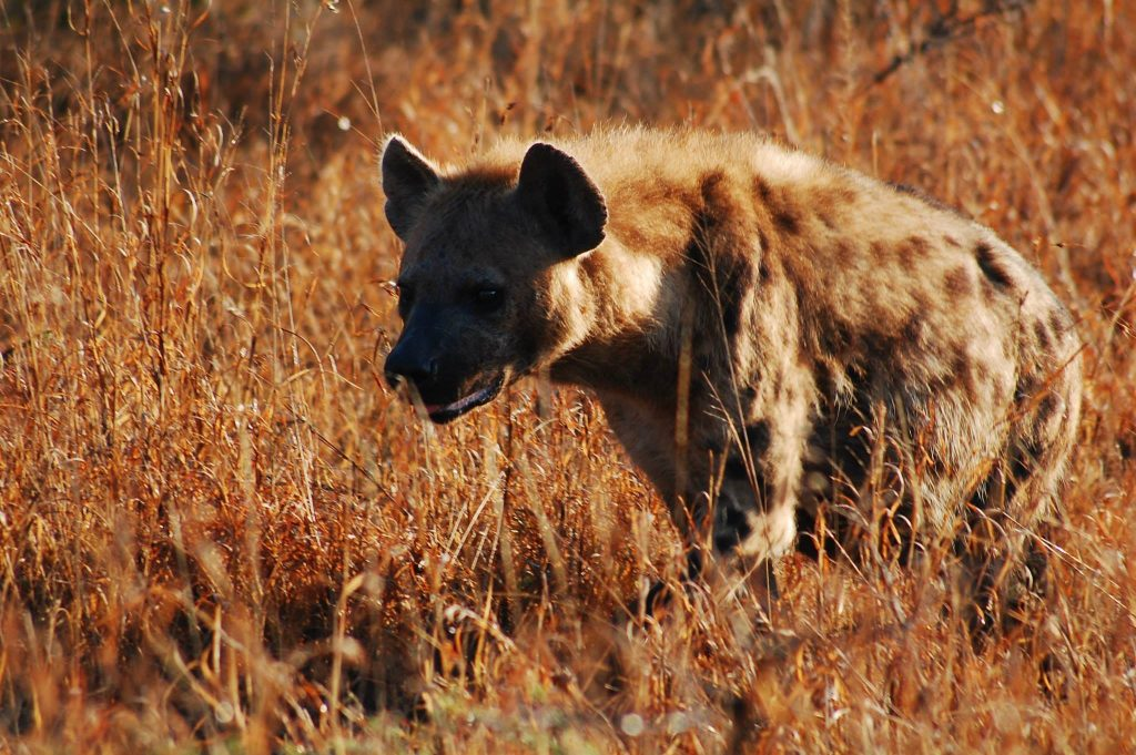 It's not uncommon to see hyena on an African safari. Photo credit: Daniel Camenzuli