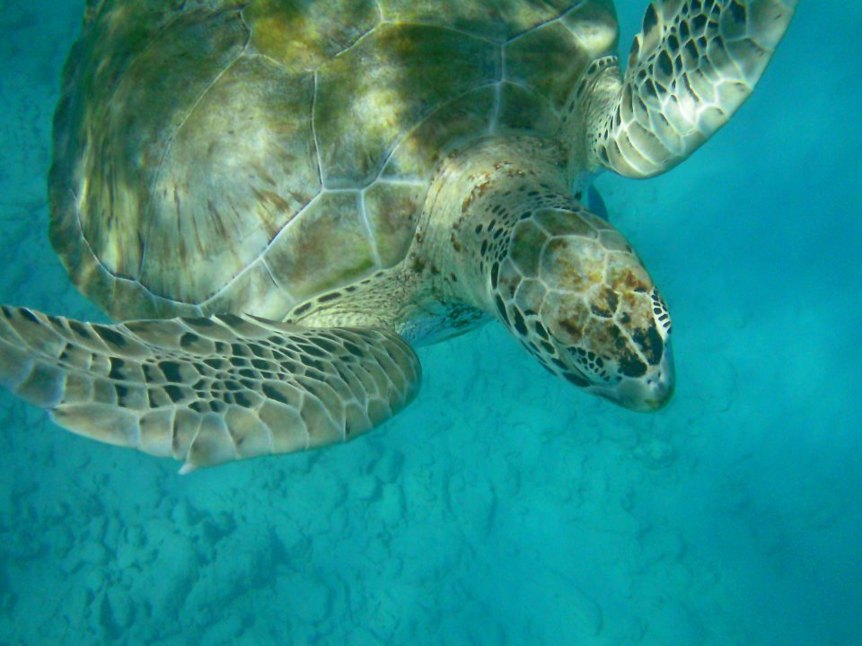 You can swim with turtles in the Caribbean. Photo credit: Dom Lewis