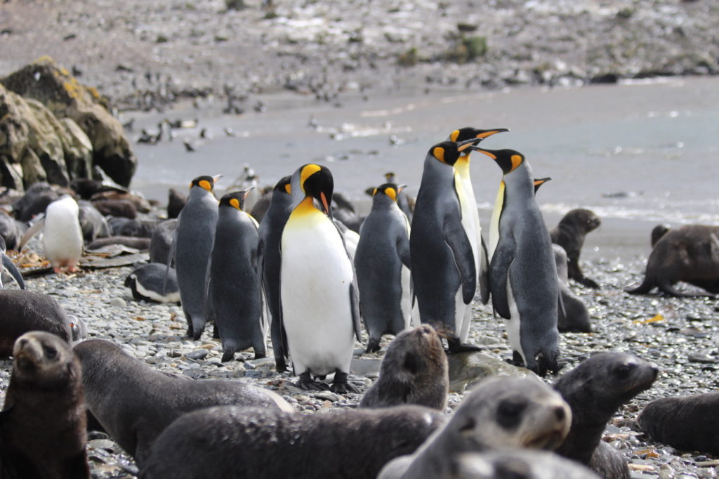 King penguins with fur seal pups, South Georgia