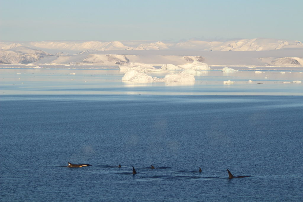 Observing killer whales in Antarctica