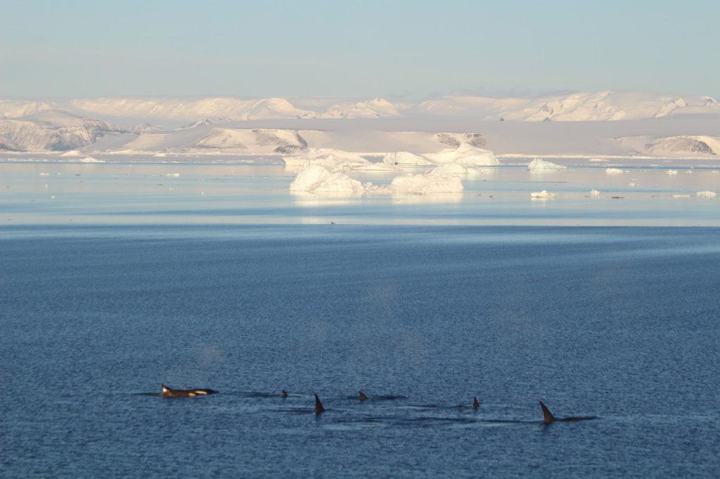 Observing killer whales in Antarctica